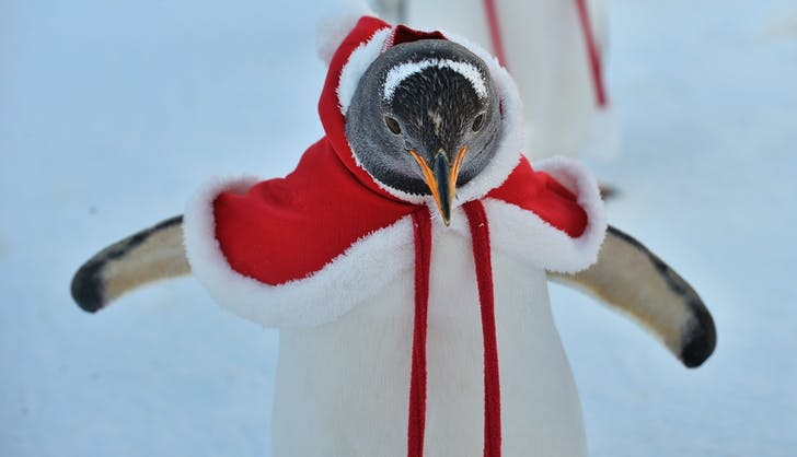 Penguin in red cape