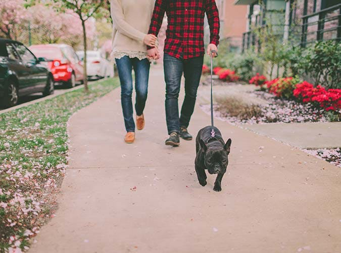 couple walking frecnh bulldog