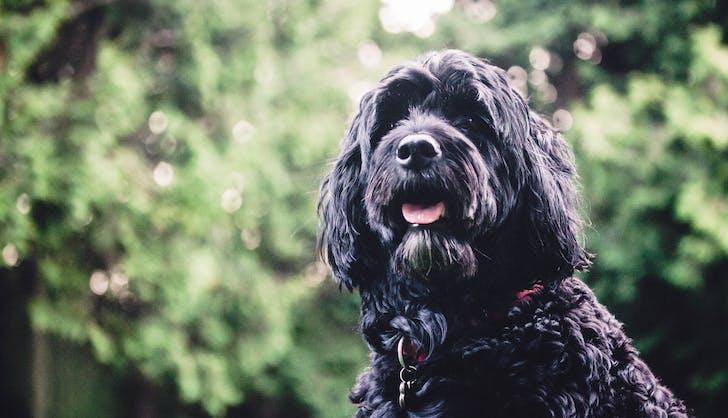 Brinka the Portuguese water dog