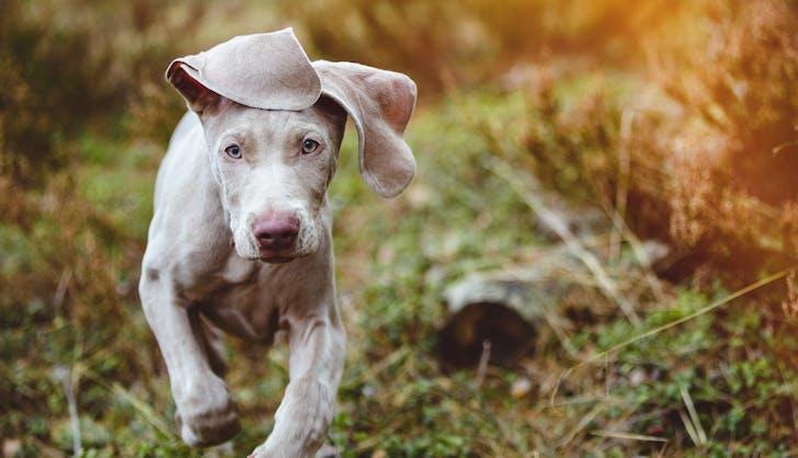Weimaraner puppy running in the forest