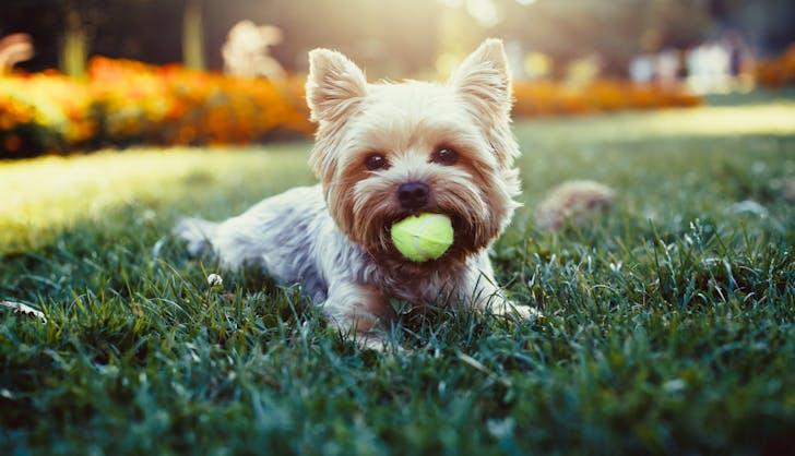 a yorkie dog playing fetch