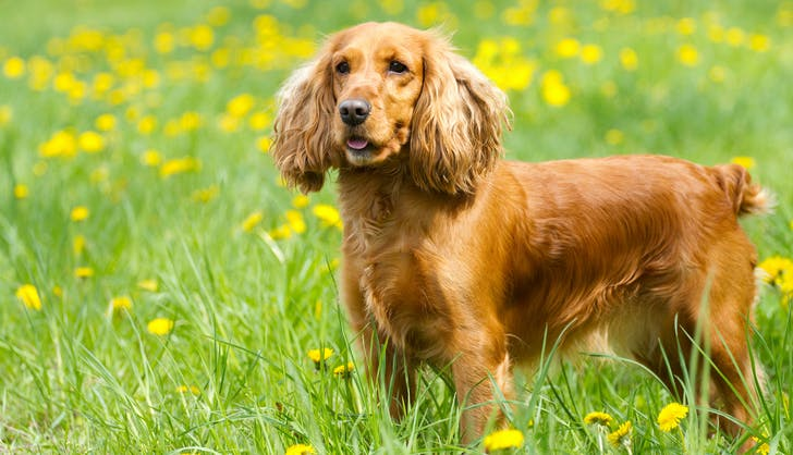 cocker spaniel dog playing in the grass