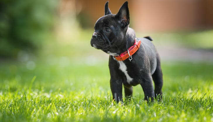 french bulldog ready for his walk