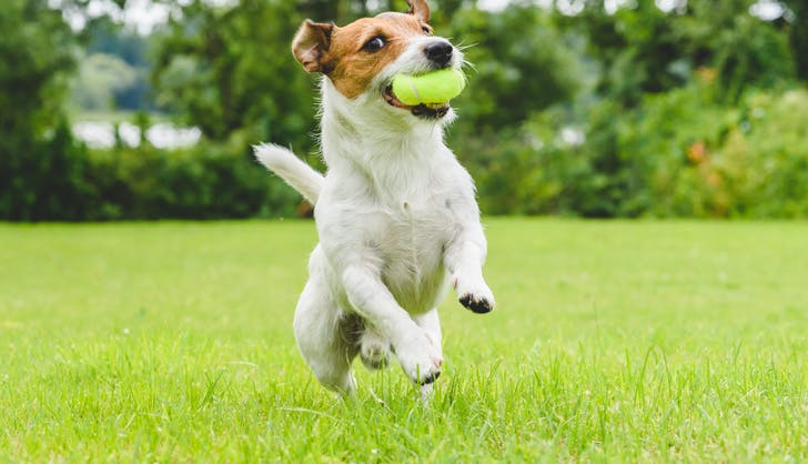 jack russell terrier playing fetch with a tennis ball