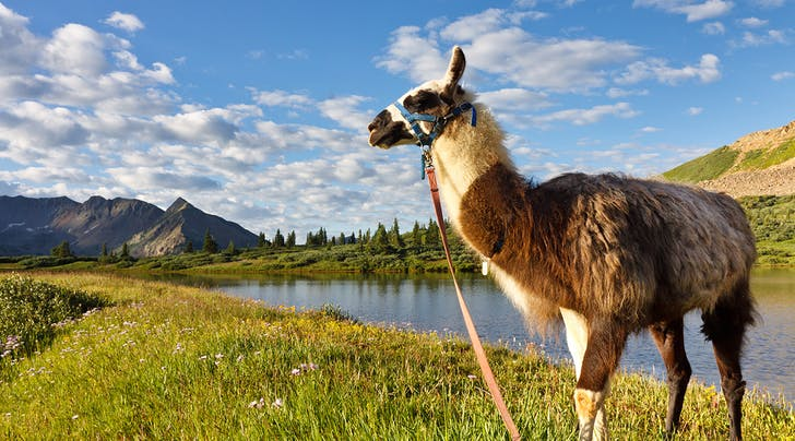 This Tour Lets You Eat Lunch with a Llama, Because Thats Some Peoples Thing, OK?