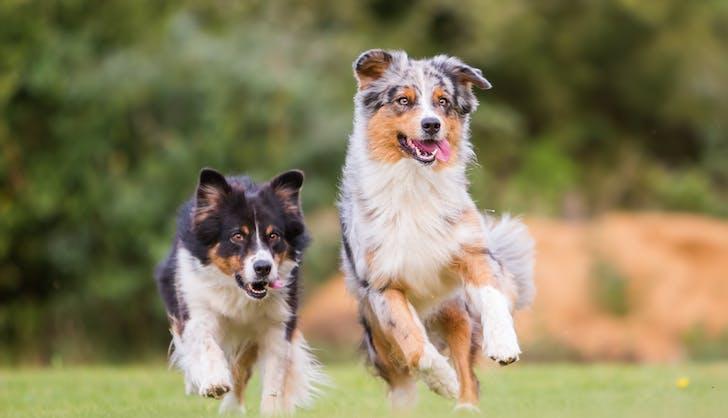 two Australian Shepherd dogs running through the grass