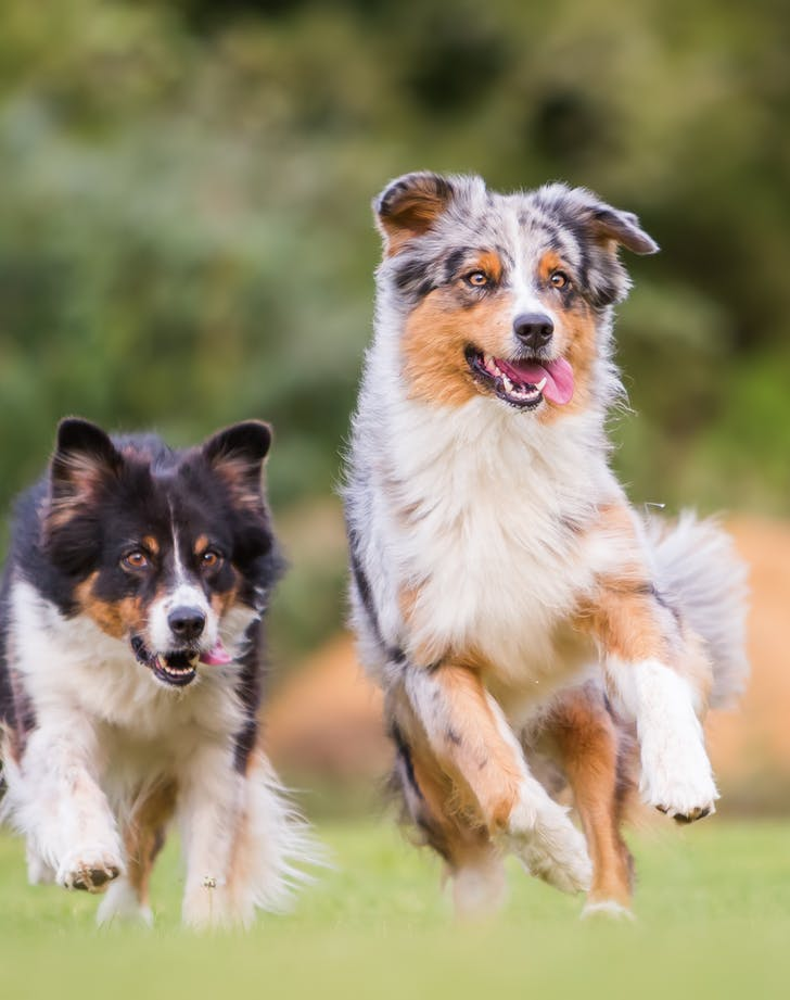 two Australian Shepherd dogs running through the grass