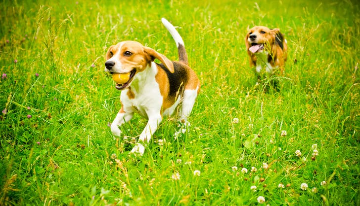 two beagles running in the backyard