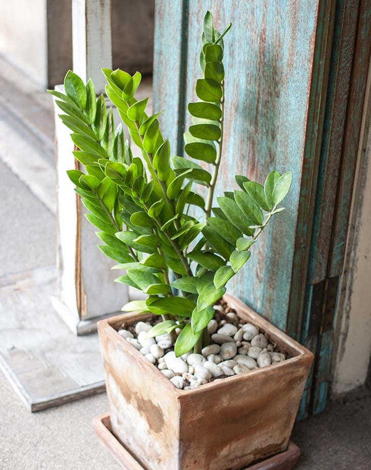 ZZplant in planter
