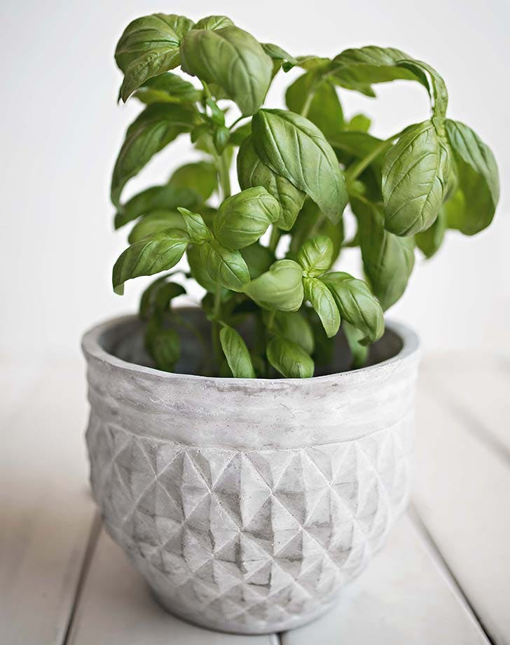 basil plant in white pot