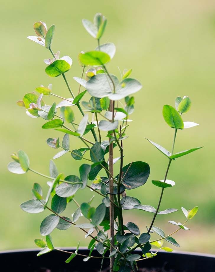 eucalyptus house Plant