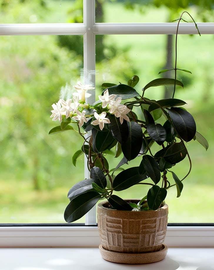 jasmine plant home