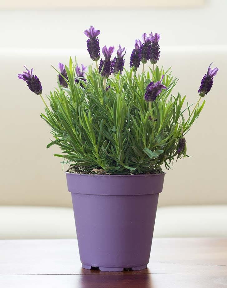 lavender house plant