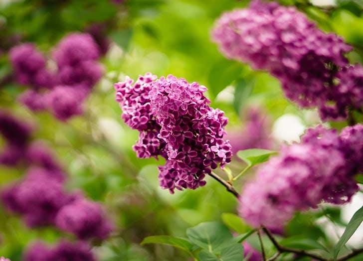 purple lilac bushes