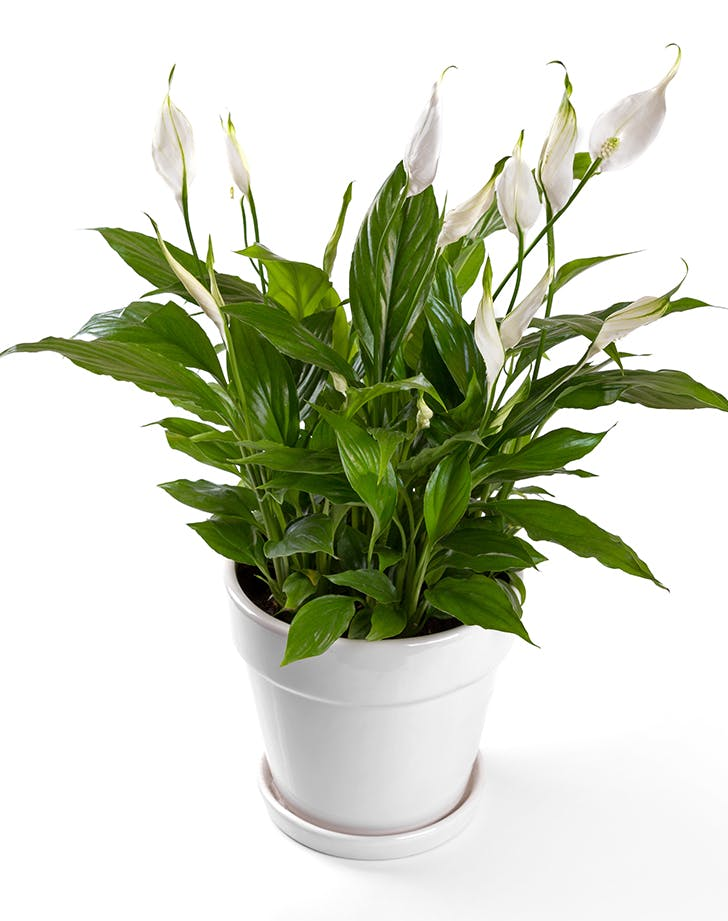 Peace Lily1
