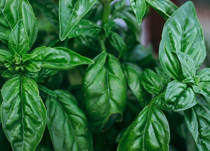 basil leaves plant