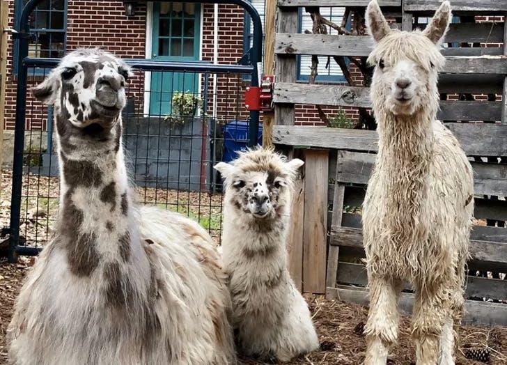 atlanta airbnb alpacas