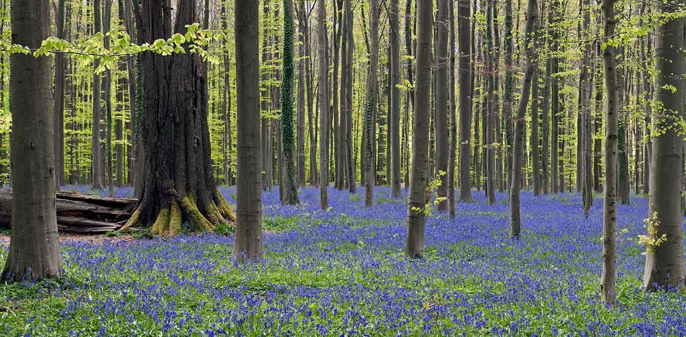 bluebells belgium forest