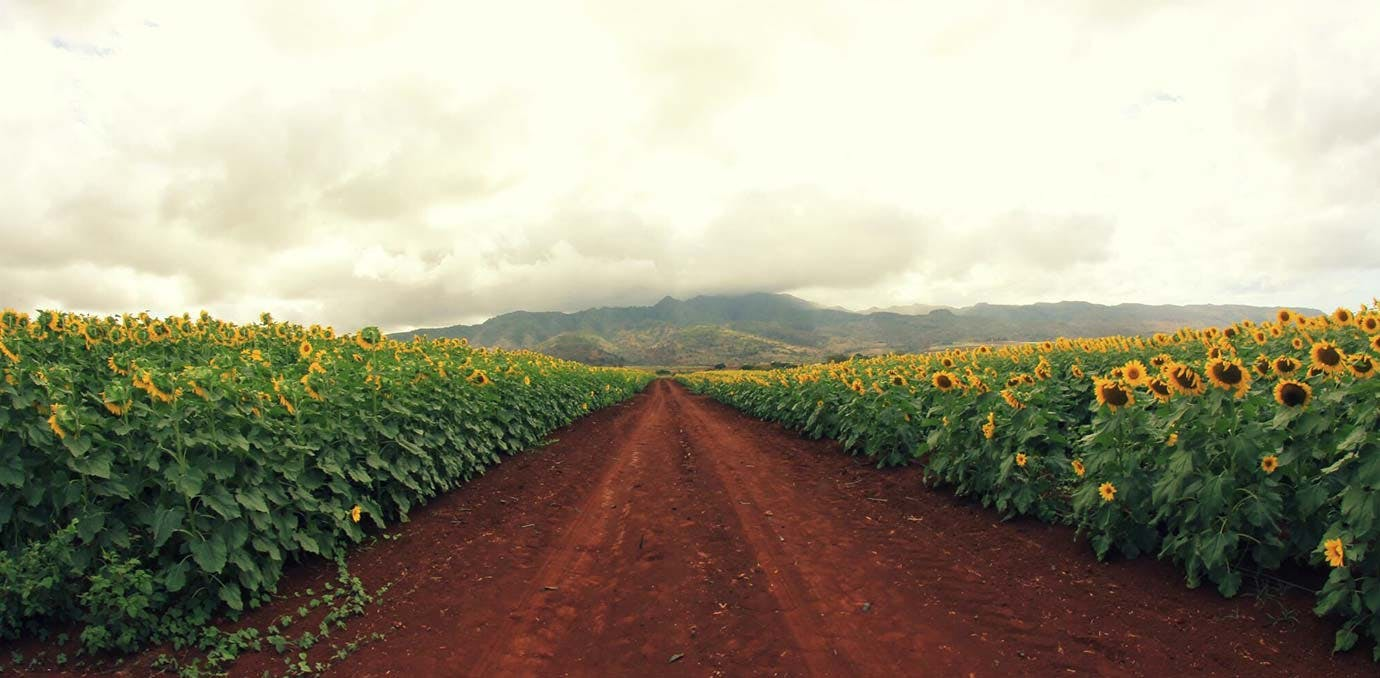 hawaii sunflowers