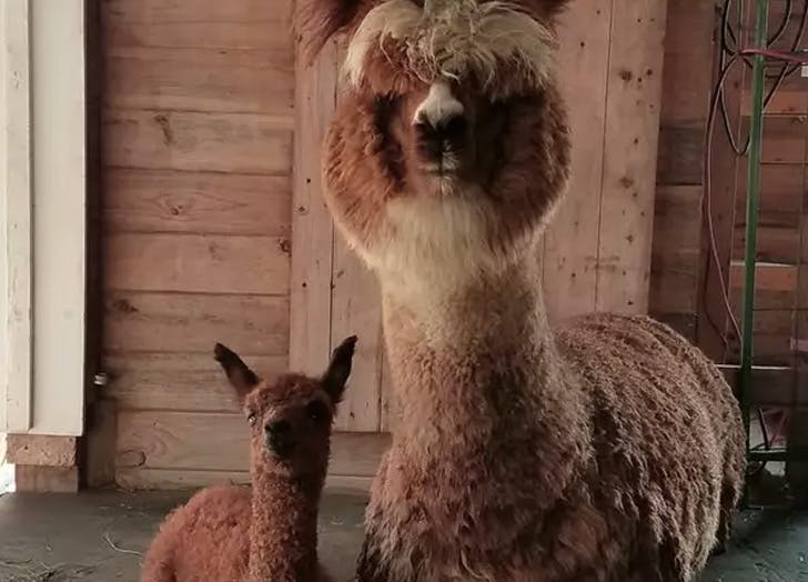 Alpaca Farm Vacations Are Trending—Here Are 4 Airbnb Listings to Prove It