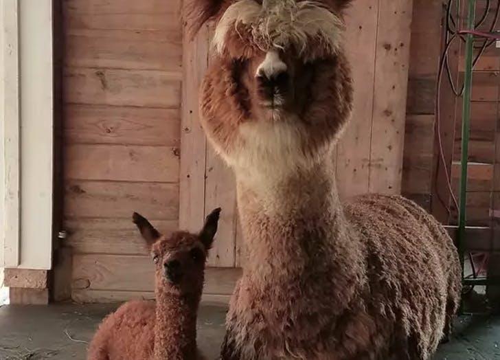 maine airbnb alpaca getaway