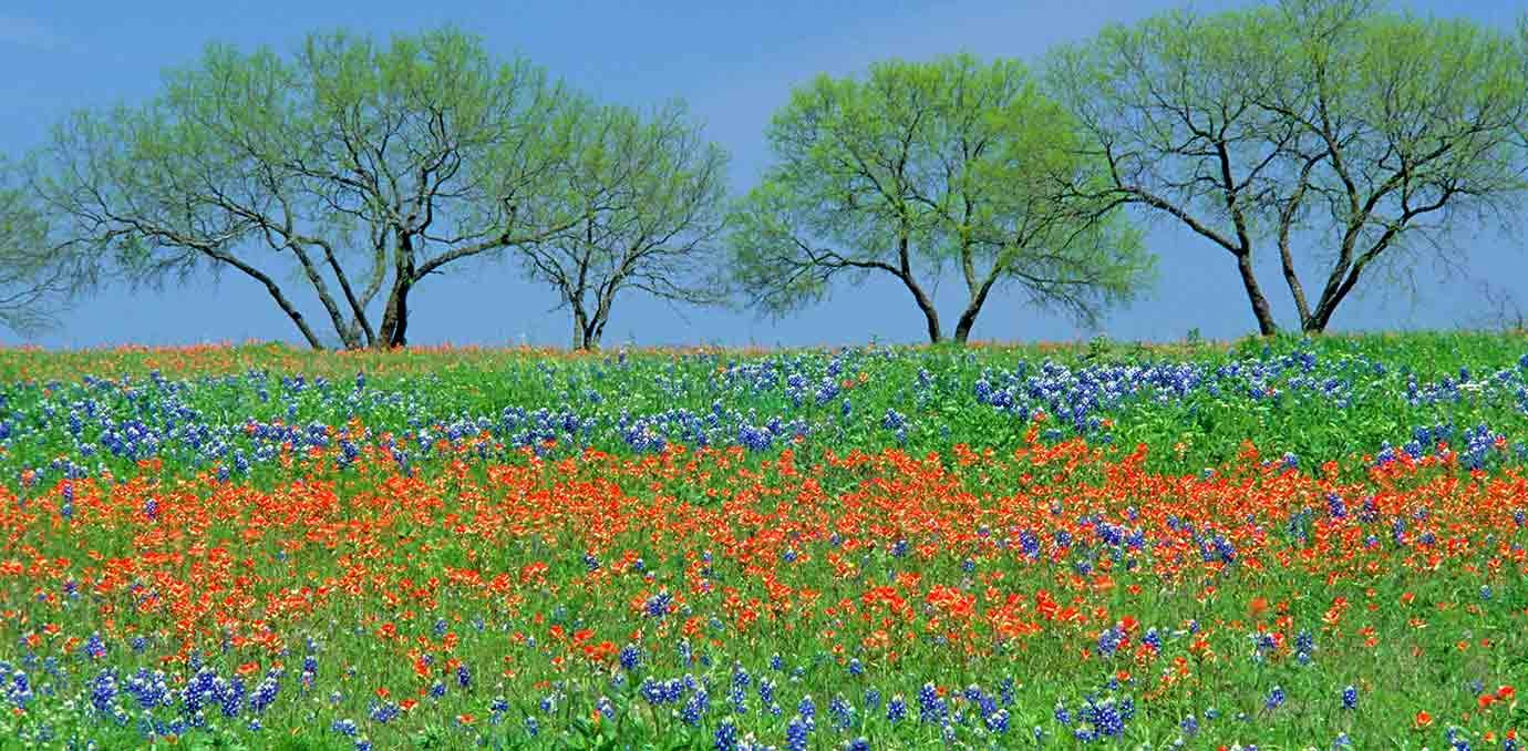 texas hill county bluebonnets