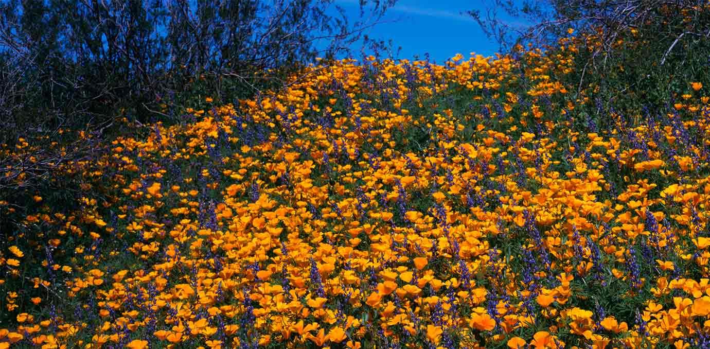 Wild Spring Flower Picturesque Desert Picturesboss
