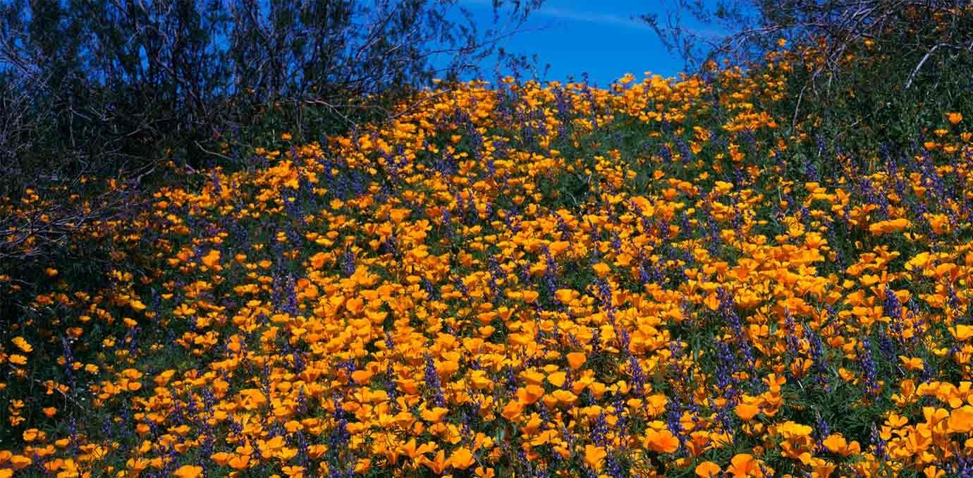 wild flowers arizona