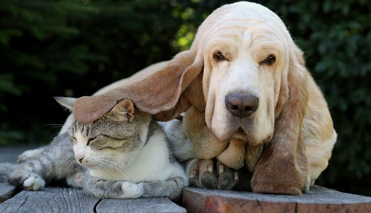 Basset Hound hanging out with a cat