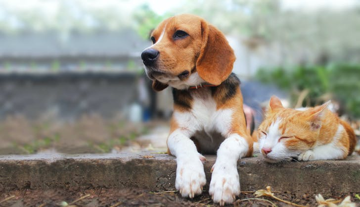 Beagle hanging out with a cat