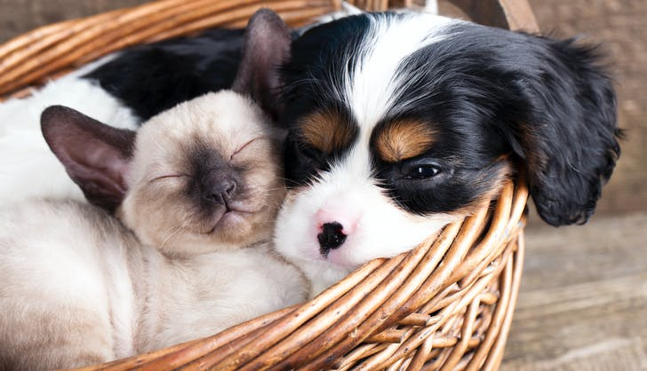 Cat and Cavalier King Charles spaniel in a basket