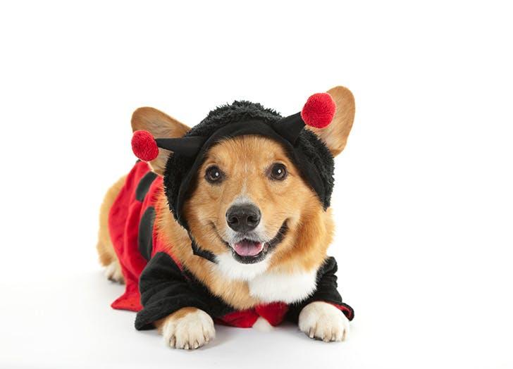 corgi ladybug costume