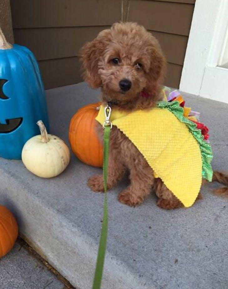 dog taco costume