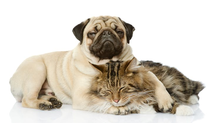 pug and cat taking a nap