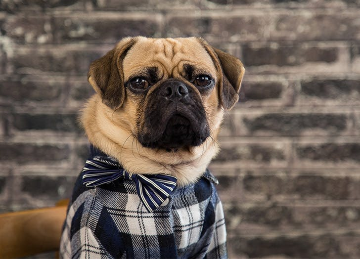 pug in flannel hipster