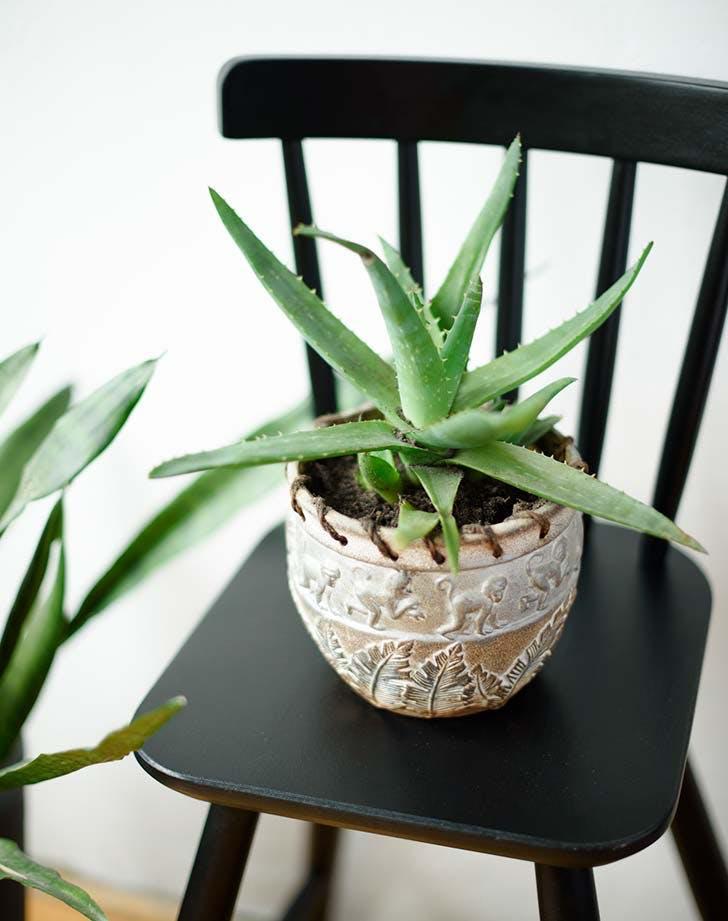 aloe house plant