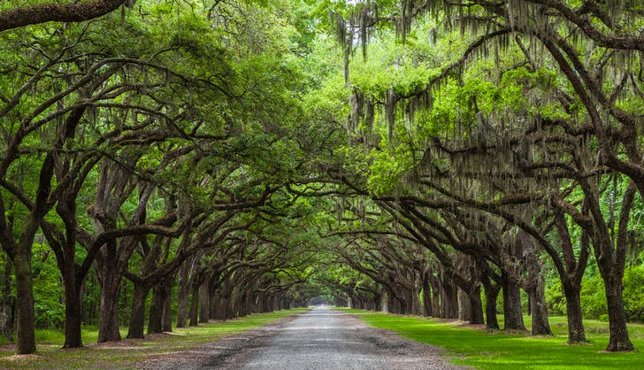 oak trees in savannah georgia