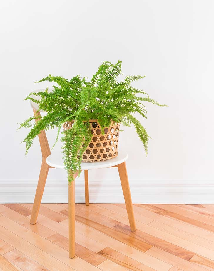 potted boston fern 728