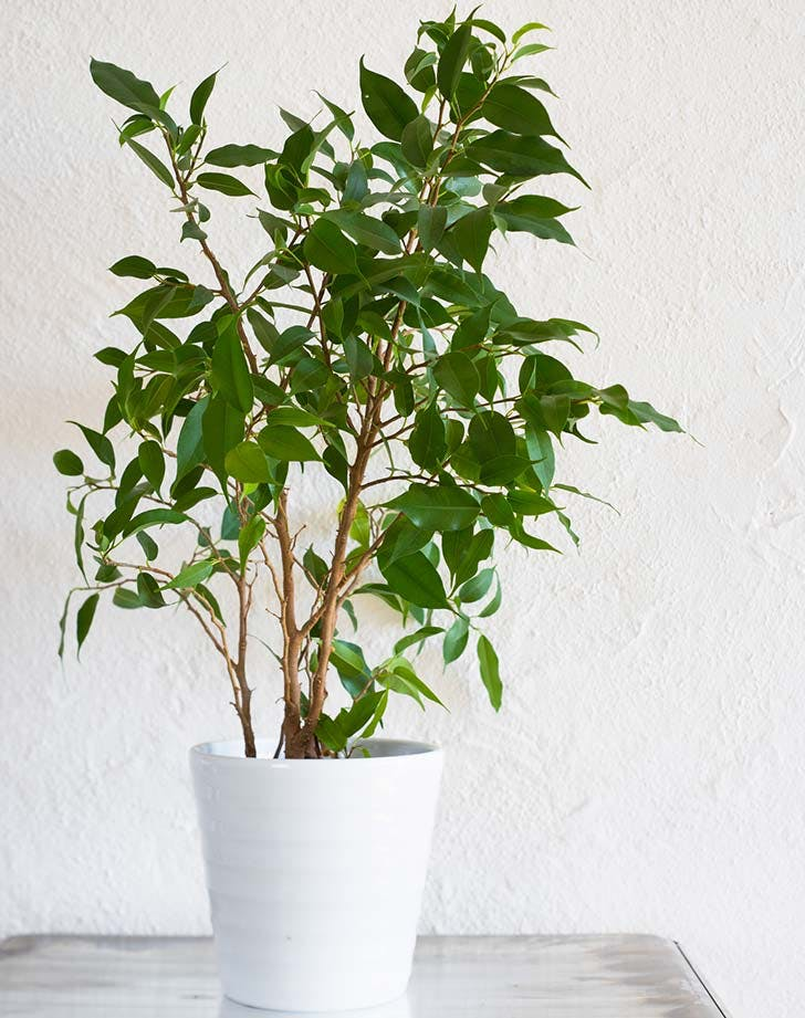 potted ficus tree 728