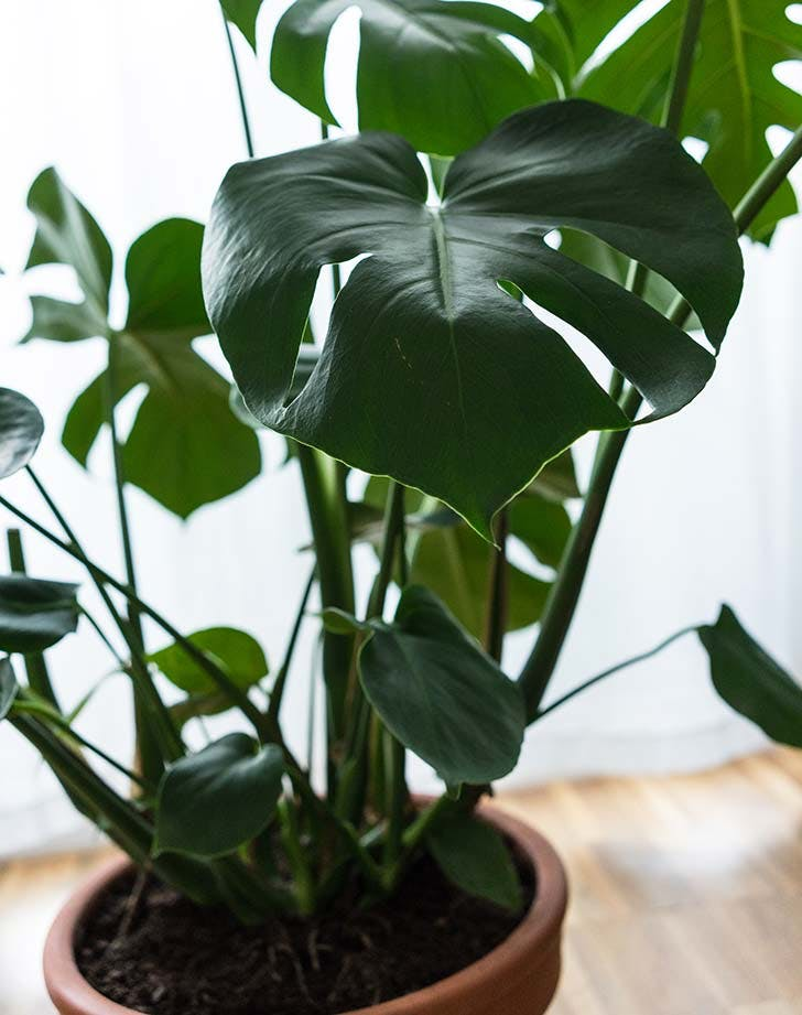 potted philodendron 728
