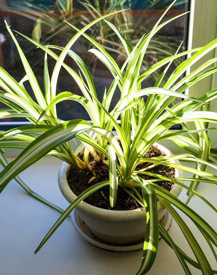potted spider plant 728
