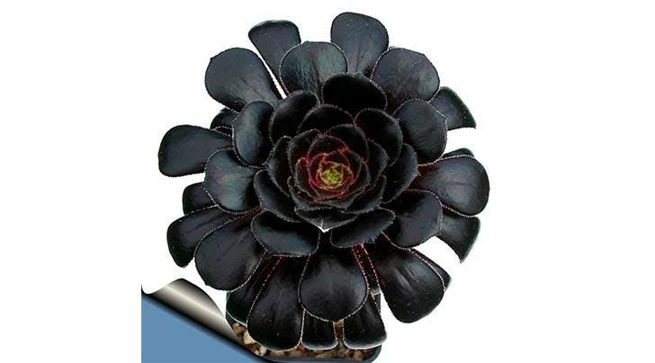 goth succulent trend 4