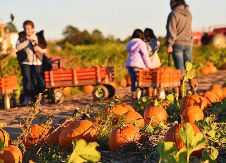 harbes family farm pumpkin