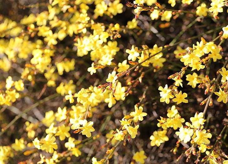 spring bloom jasmine