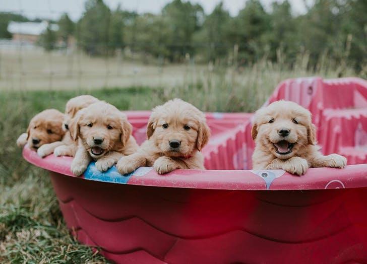 golden retrievers in a pool