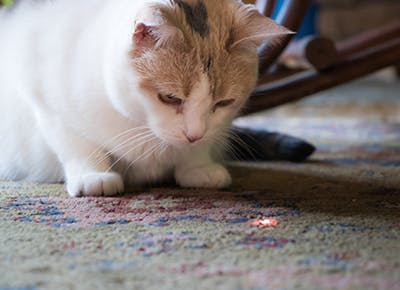cat with laser pointer 400