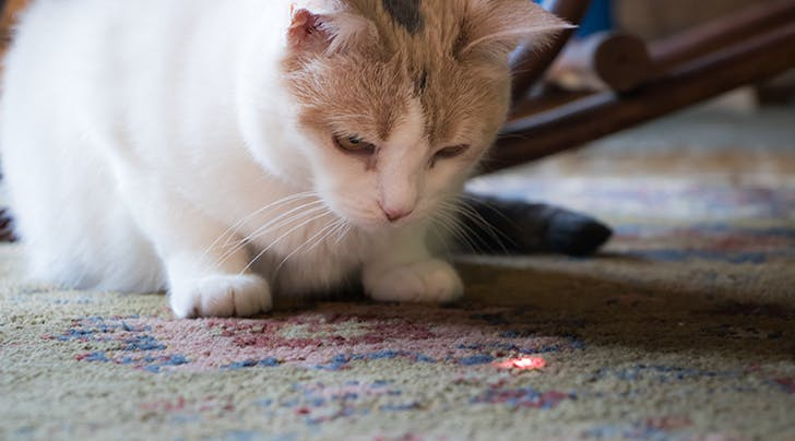 The Reason Your Cat Loves Laser Pointers and Why You Should Be Cautious Playing with Them