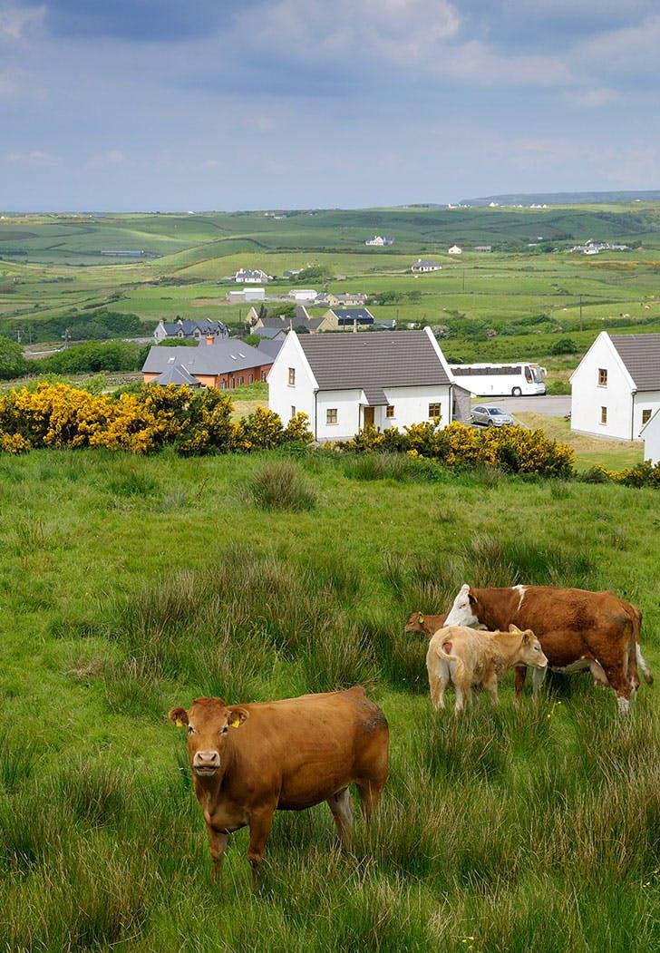 cattle burren