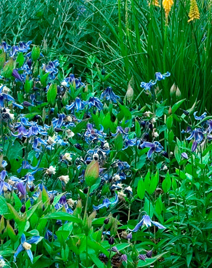 blue clematis vines
