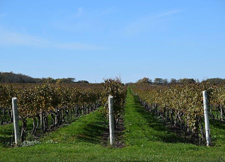 long island vinyard